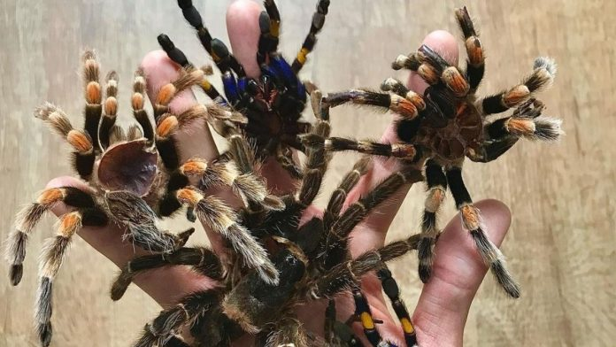 Arañas salieron de sus escondites por temporada de lluvia