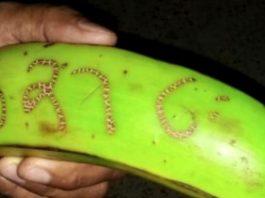 El plátano de la suerte en Chocó