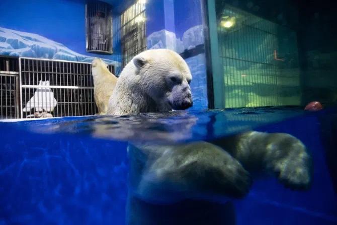 Los osos polares son visibles para los huéspedes las 24 horas del día. Crédito: Características de Rex.