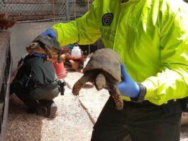 Policía y Fiscalía rescatan tortugas hicoteas, morrocoys e iguanas