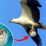 Águila marina atrapa y vuela con un pez globo completamente inflado