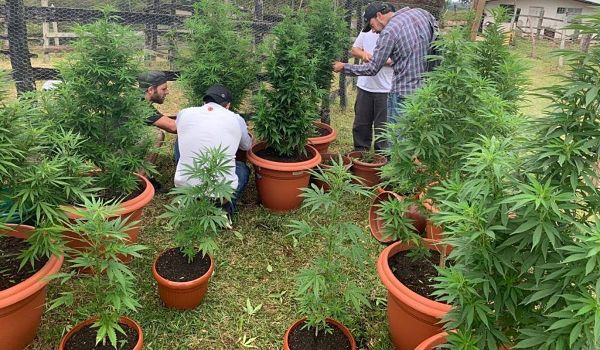 Cannabis colombiano.