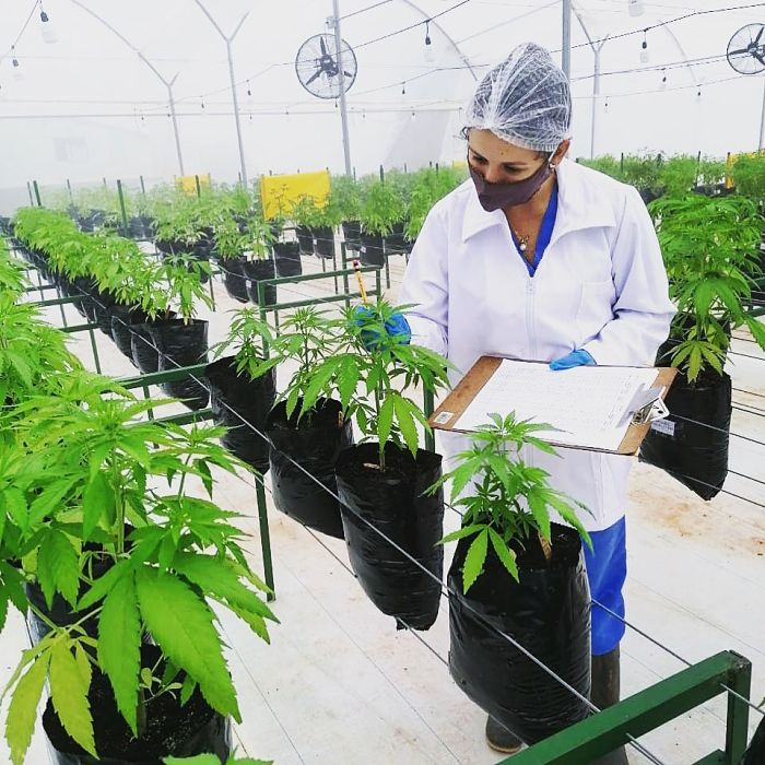 Cultivos de Cannabis en Bucaramanga.