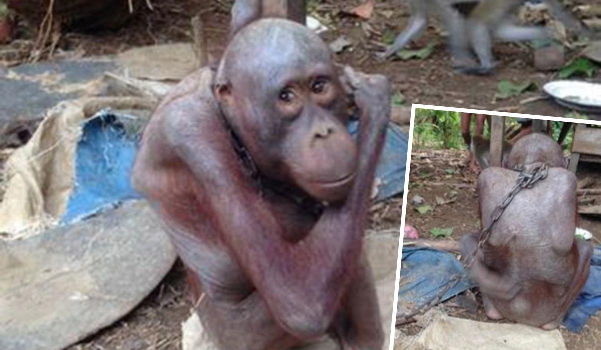El adorable orangután Bujing fue robado de su madre muerta y encadenado a una casa sucia durante cuatro años