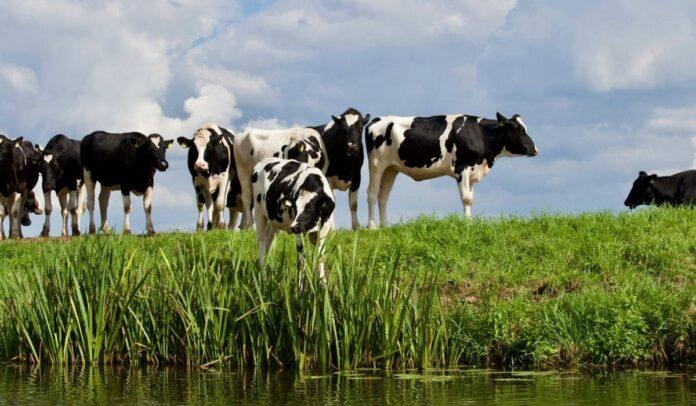El cartel bovino