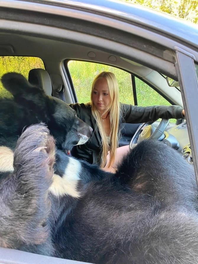 El oso siempre tiene una actitud positiva hacia los viajes en automóvil debido a su naturaleza curiosa. Crédito Caters.