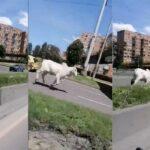 La vaca en Bogotá